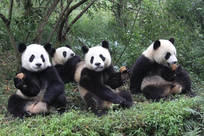 panda - Google keresés