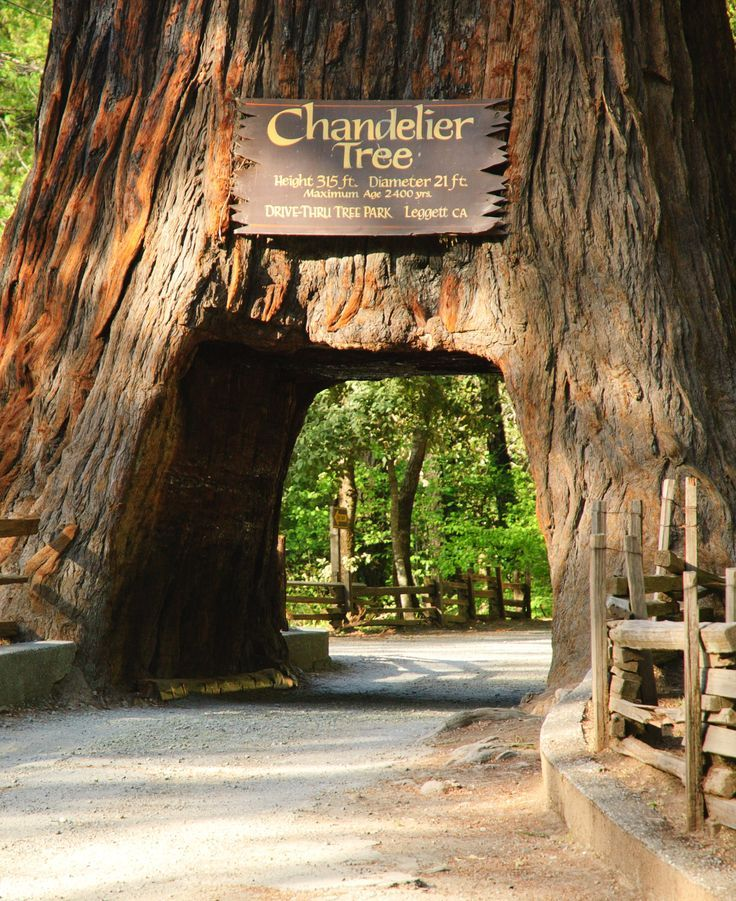 Chandelier Drive-Thru Tree in 2019 | speak for the trees ...