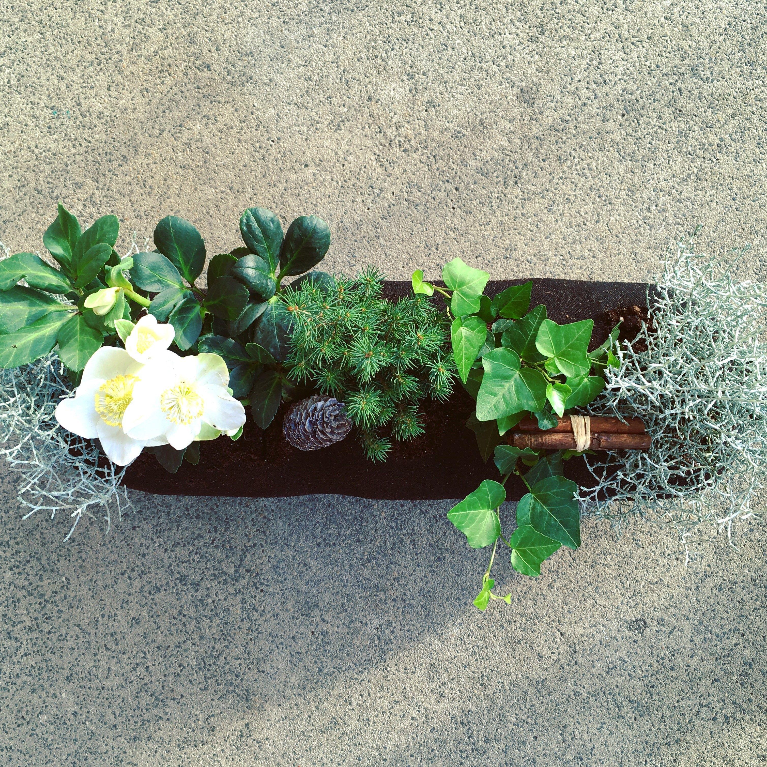 Bepflanzung Fur Den Balkonkasten Im Winter Mit Christrose Stacheldrahtpflanze Efeu Und Kiefer Bepflanzung Balkonbepflanzung Pflanzen