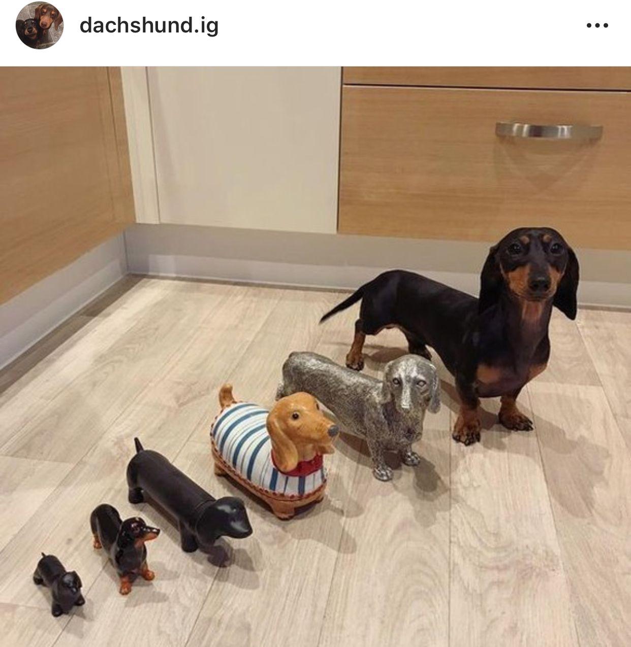 Doxie Weenie Dogs Dachshund Puppies