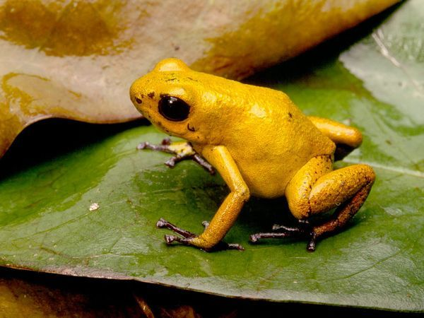 Amazing Poison Dart Frog Poison Frog Facts Photos Information