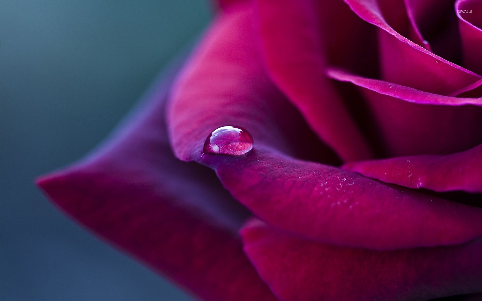 Water drop on a purple rose wallpaper flower wallpapers 42045 water drop on a purple rose wallpaper flower wallpapers 42045 altavistaventures Image collections