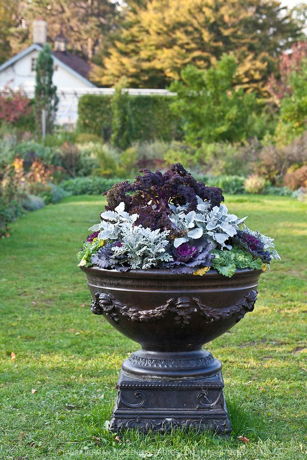 Decorative Urns For Plants Beauteous Purple Curly Kale White Dusty Miller And Purple And Green Inspiration