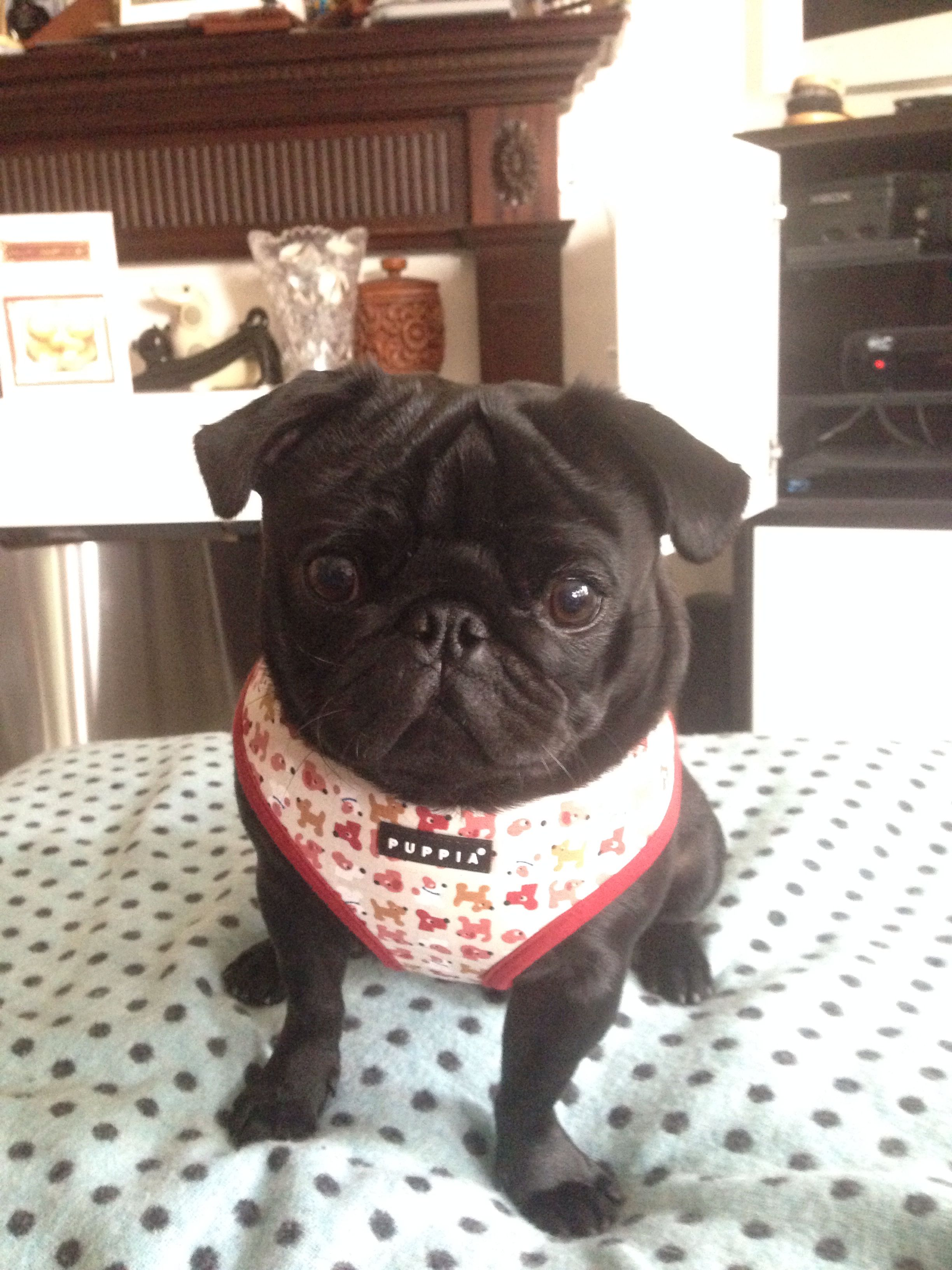Douglas New Clothes Ready For Autumn Winter Pugs Pug