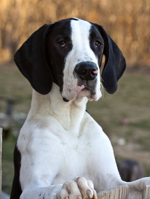 Oliver The Great Dane Great Dane Dogs Great Dane Puppy Great
