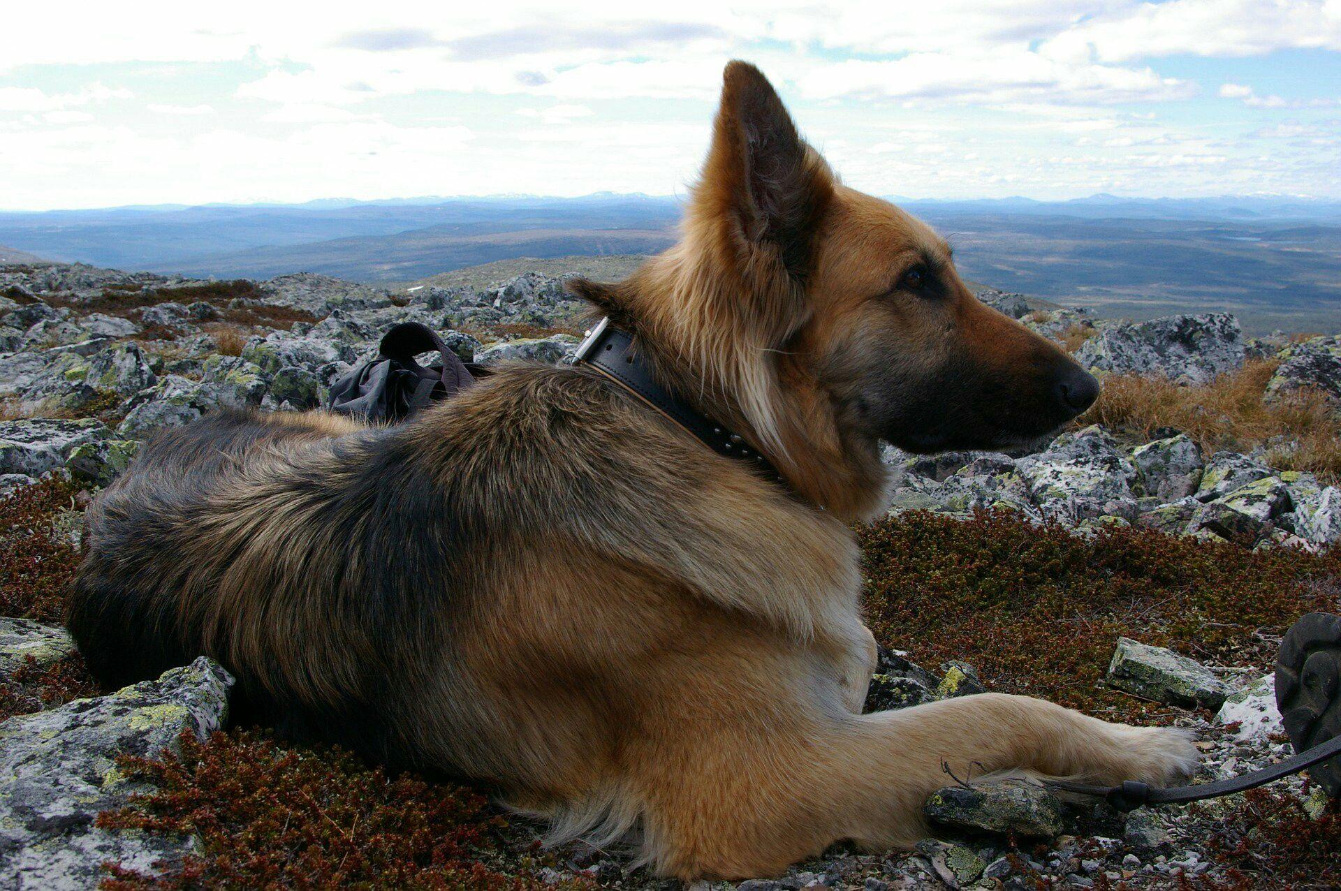 Pin By Steven Paye On Big Sweetie Best Dogs Shepherd Puppies