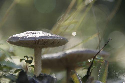 fawn mushroom, pluteus cervinus / lefiligree