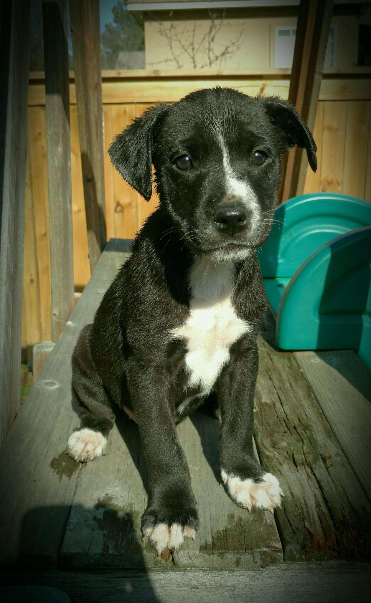 Adopt Tippy On Great Danes For Adoption Labrador Retriever Mix