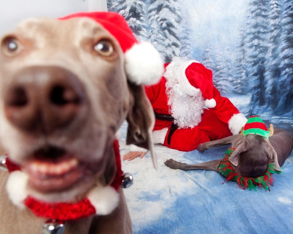 Weimaraner Christmas Day Merry Puppy Holiday Dogs Santa Claus Dog ...