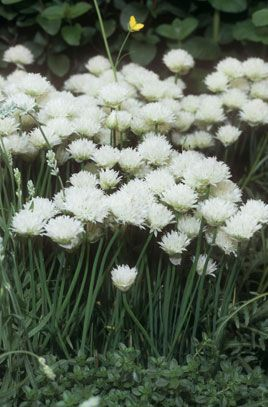 White flowered chives h6 spring hardy plants for a moonlight white flowered chives h6 spring mightylinksfo