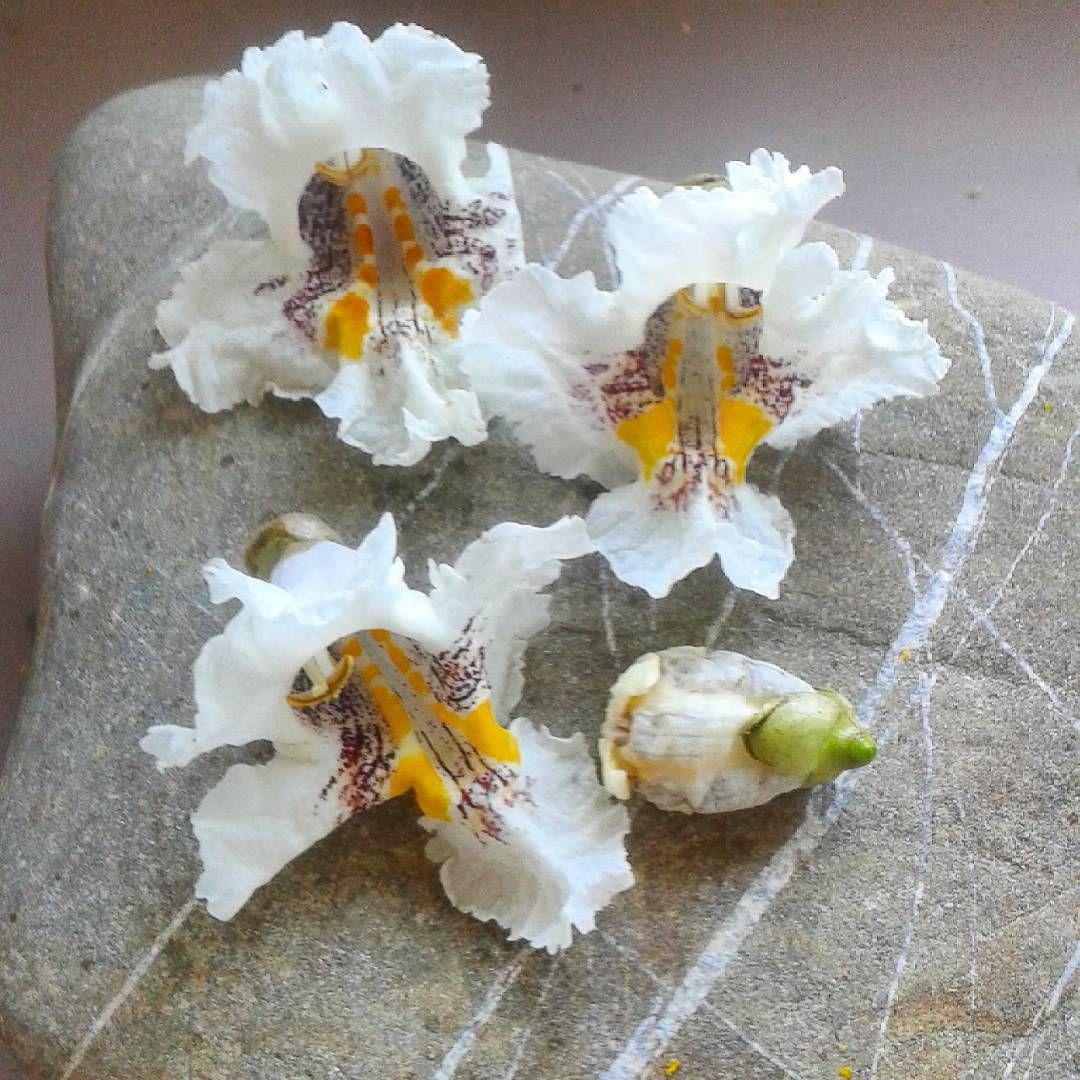 Swibur On Instagram Znalazlam Pod Krzewem Takie Piekne Kwiaty Juz Wiem Jak Nazywa Sie Ten Krzew Surmia Katalp Nature Photography Instagram Posts Instagram