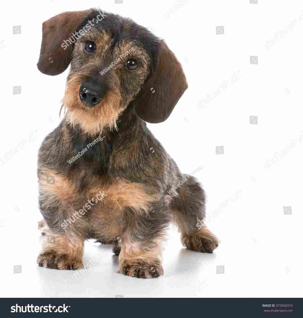 Miniature Wire Haired Dachshund Mini Wire Haired Dachshund