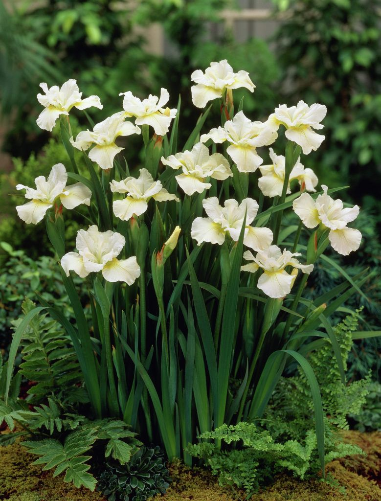Japanese iris white google search gardening shade plants in japanese iris white google search izmirmasajfo