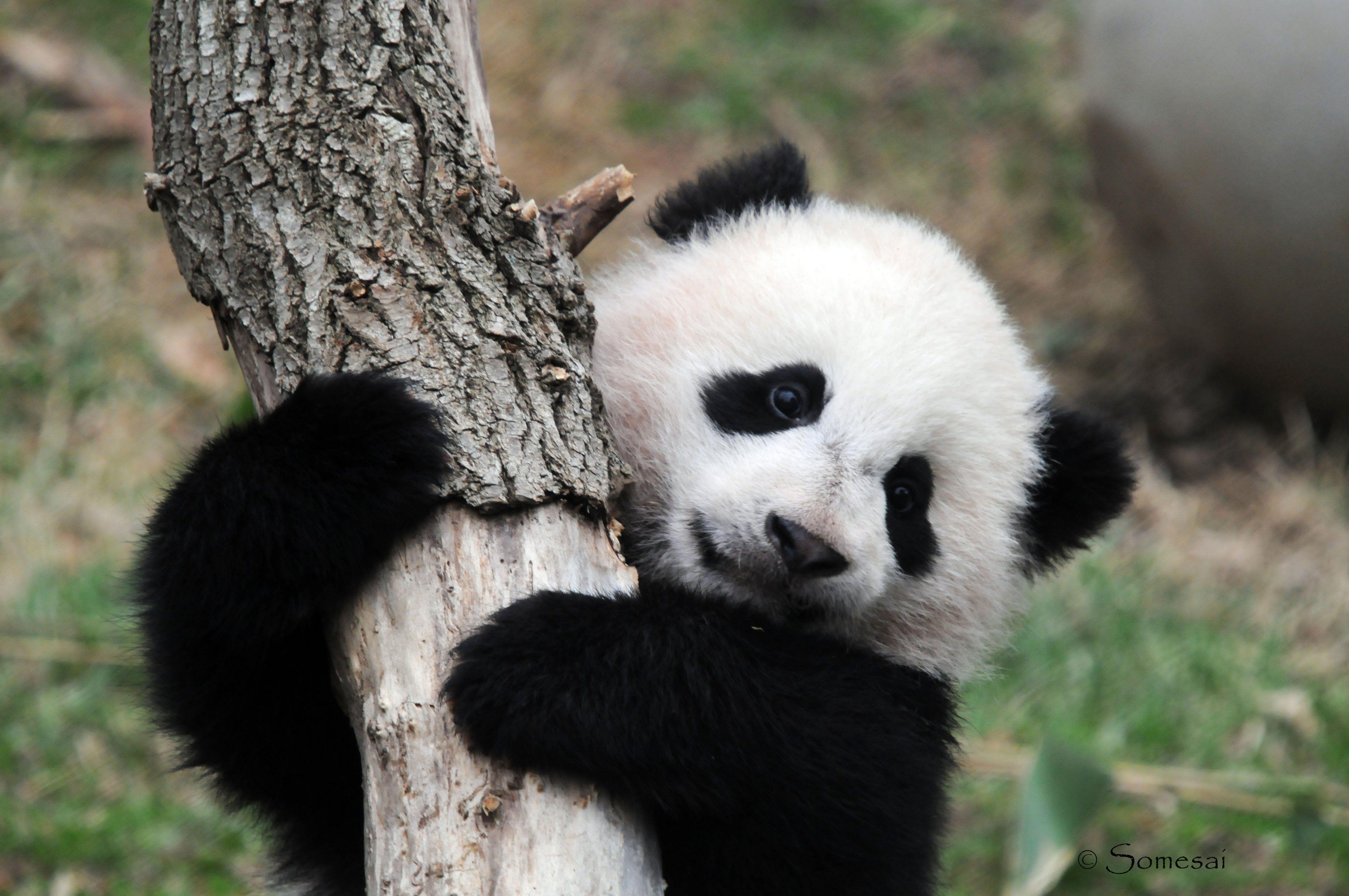 Cute Overload Panda Wallpapers Panda Bear Panda Bears Wallpaper