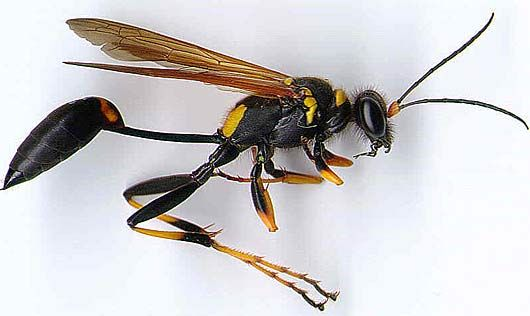 Wasps The Pest That Eats Pests Flying Insects Insects Wasp Insect