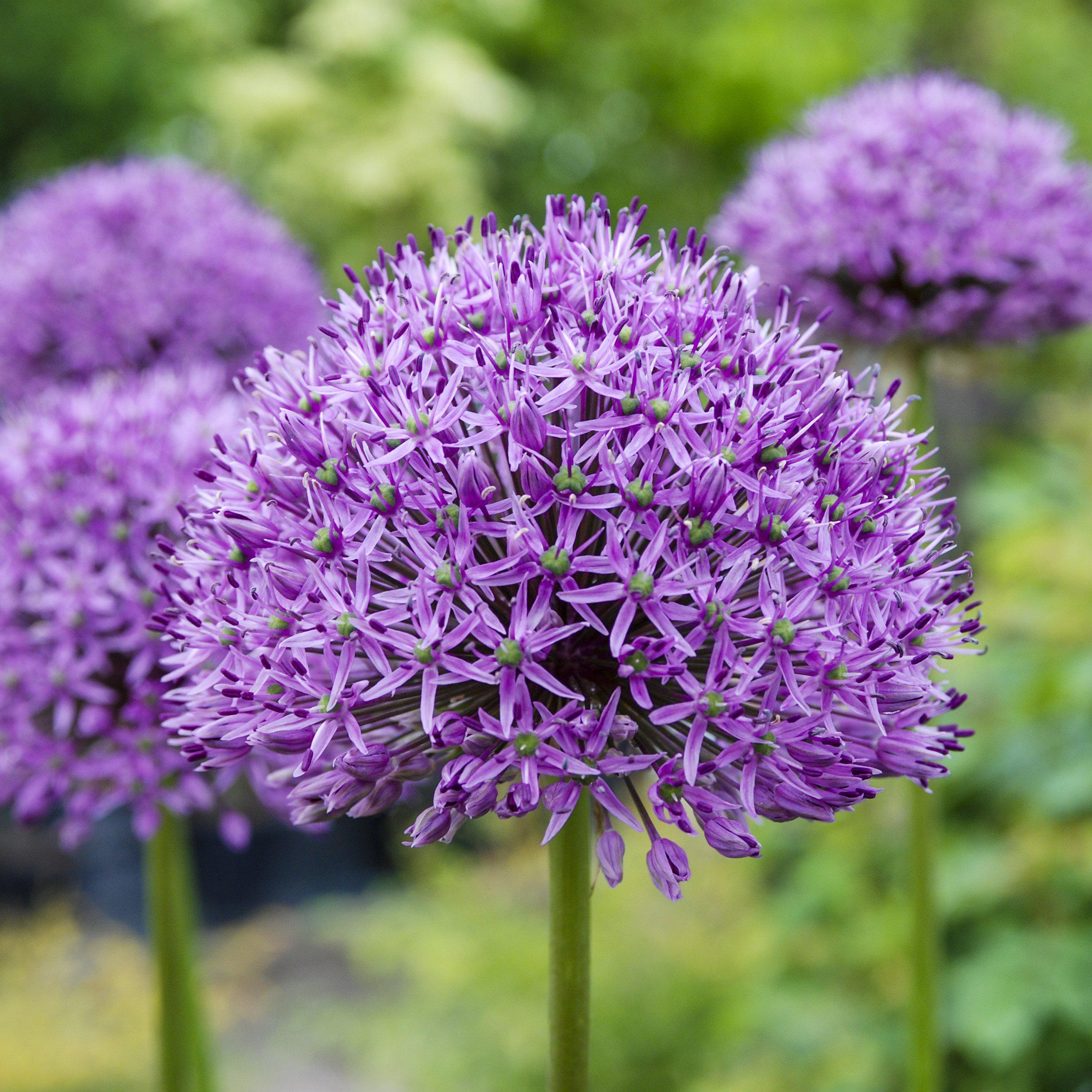 Allium Ampeloprasum Allium Flowers Flower Landscape Easy To Grow Bulbs
