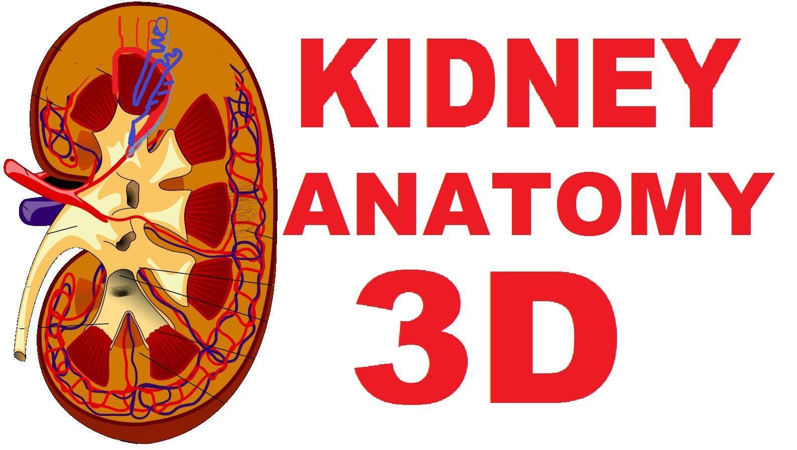 Kidney Anatomy: DETAILED Renal, Nephron, Urinary System | exam 3 ...