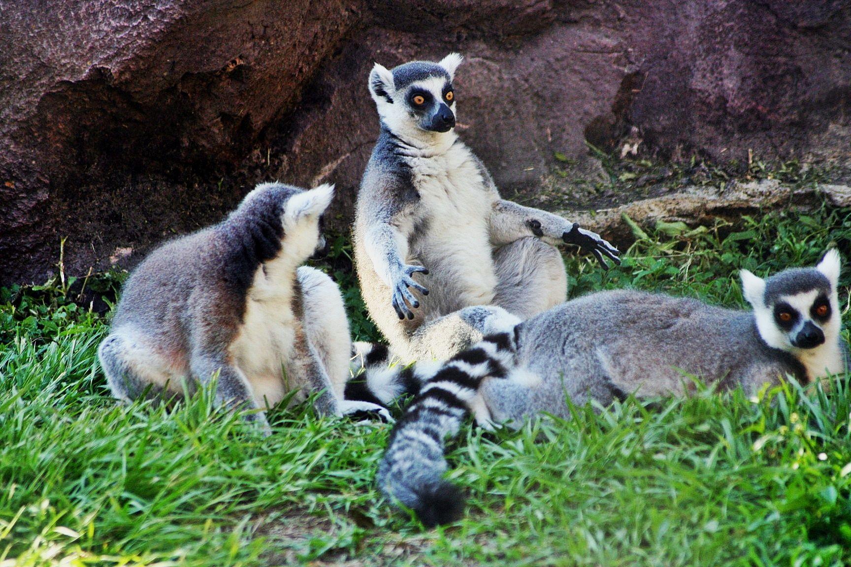 Lemurs. Lemur, My photos, Animals