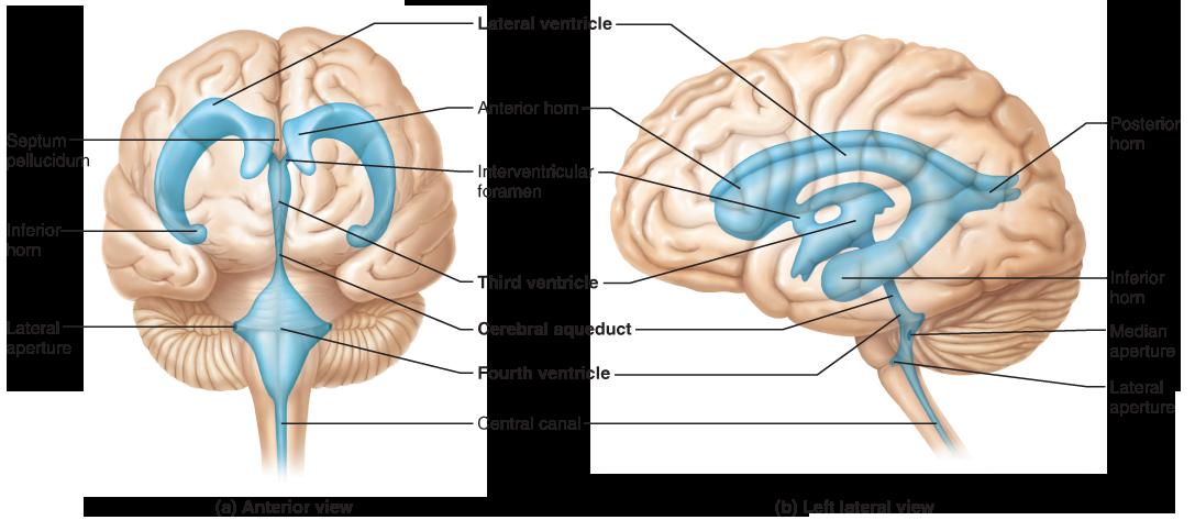 The Brain Brain Diagram Nervous System Anatomy Central Nervous System