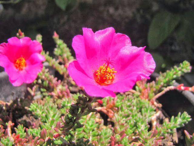 Portulaca gilliesii portulaca plantas nativas de buenos for Vivero plantas nativas