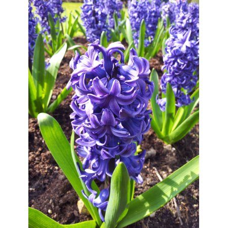 Patio Garden Hyacinth Plant Plants Hyacinth Flowers 400 x 300