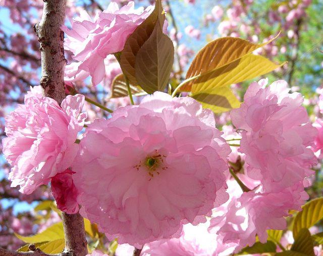 Japanese Flowering Cherry Prunus Serrulata Kanzan Prunus Serrulata Beautiful Flowers Pictures Japanese Flowering Cherry