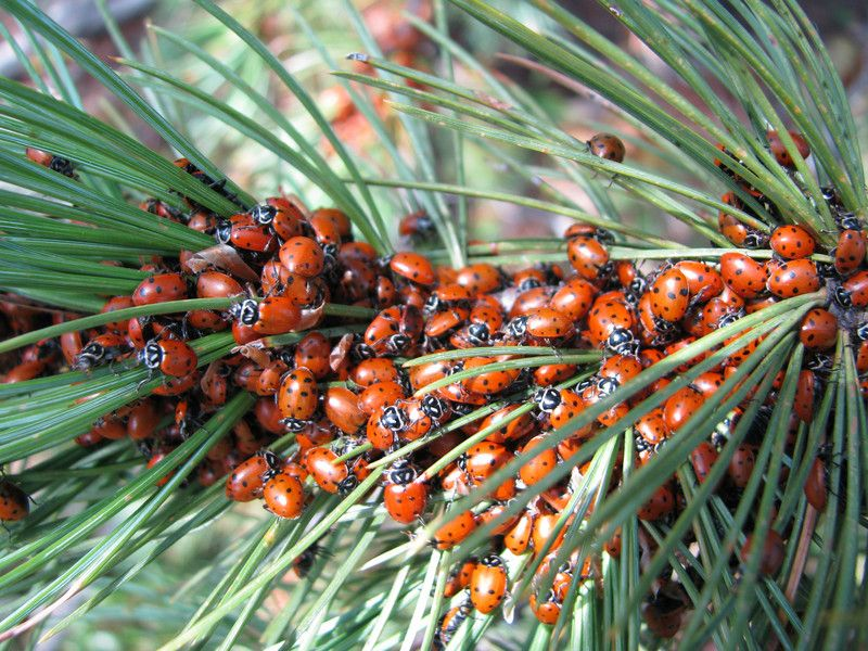 Lady Bugs at Mueller State Park