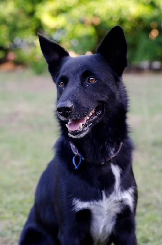 Looks Like My Jose Is Really A Border Collie X Kelpie Collie