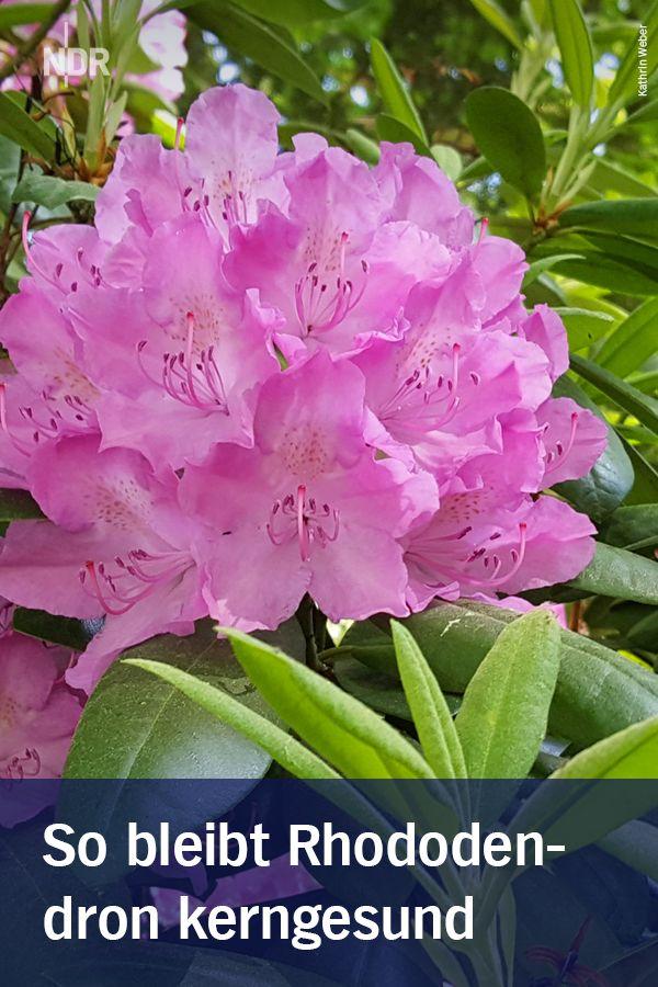 Rhododendron pflegen und krankheiten erkennen for Gartengestaltung rhododendron