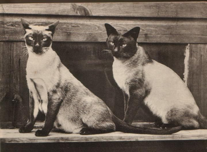 old style siamese | Meow | Siamese cats, Cats, Siamese