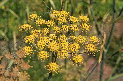 Bronze Fennel Rose Companion Plants Plants Companion 400 x 300
