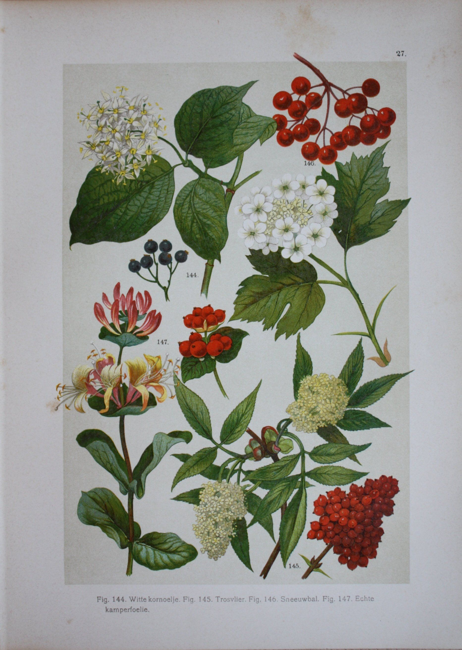 Lantana Kopen Pin By Tigris Oldprints Netherlands On Antique Botanical Prints In
