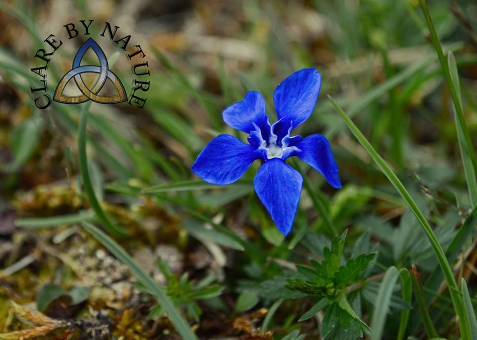 Spring gentian in the Burren County Clare. Image from Clare by Nature www.facebook.com/clarebynature