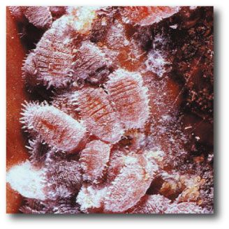 Cochineal Extract - Organic Red Food Coloring - I\'ll never drink ...
