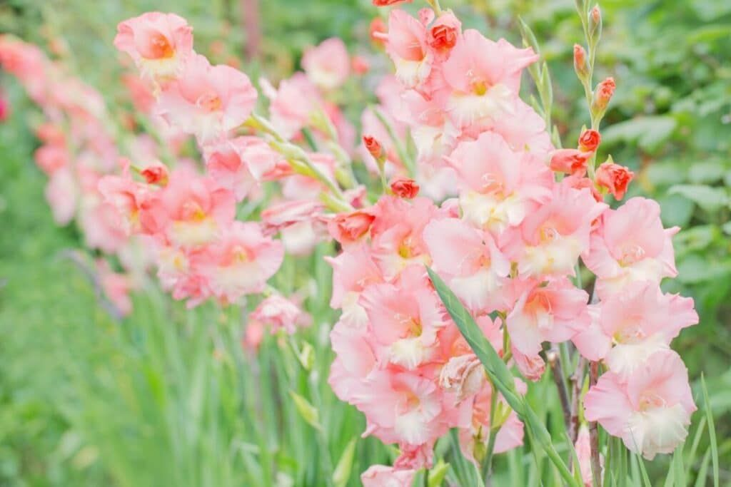 Amazing Meaning And Symbolism Of Gladiolus Flower And Color Florgeous In 2020 Gladiolus Flower Gladiolus Flower Meaning Mexican Flowers