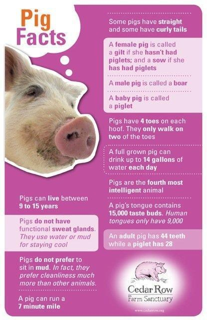 Pin by Carna Brown on Everything Pigs! | Pig facts, Pet pigs