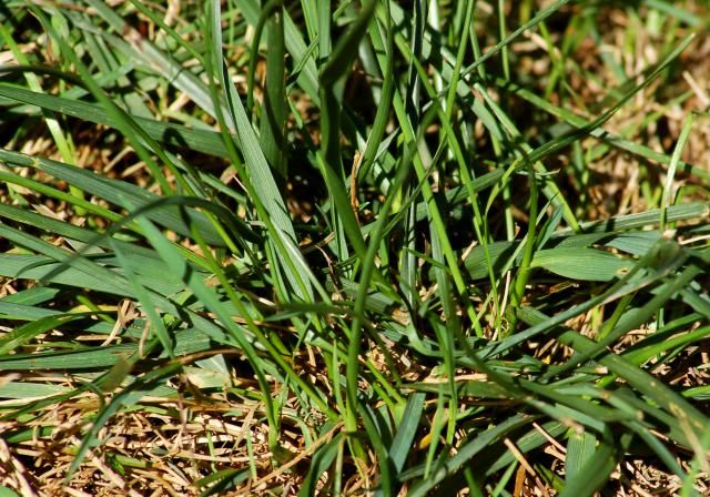 What types of lawn grasses are there tall fescue grass for Tall outdoor grasses