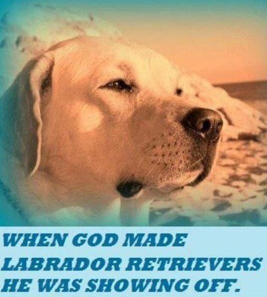 Love My Labradors Honden
