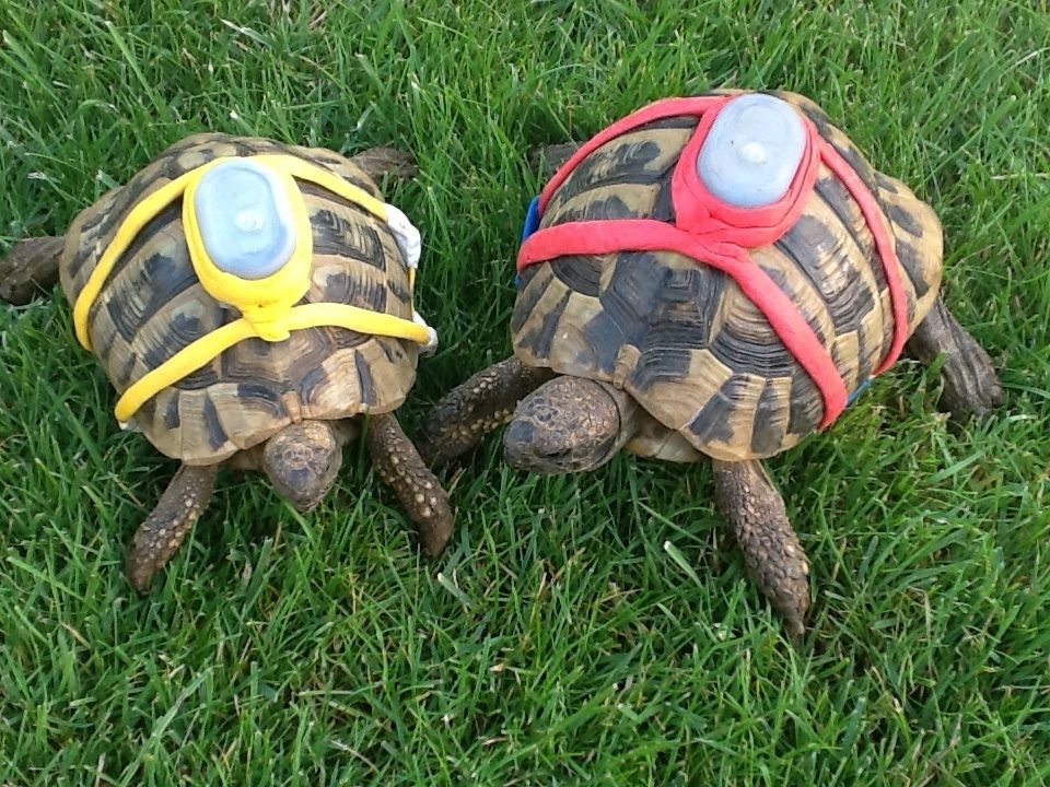 Track Your Pet Tortoises Baby Pets Pinterest Tortoise - Man walks pet tortoise through tokyo