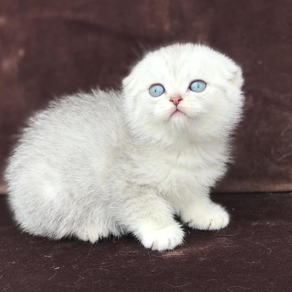 British Short Hair Scottish Fold 05315674141 Silvershaded Goldenshaded Kedi Cat Cesme Caddebostan Bagdatcaddesi Kadikoy I Animals Cats Instagram