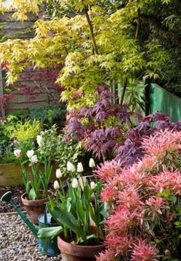 Photo of Containers with tulips Acer palmatum 'Katysura' and Acer palmatum 'Bllodgood' – …