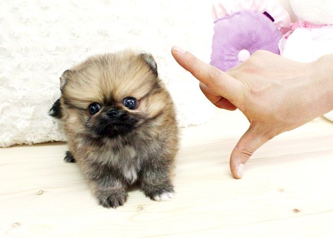 Micro Teacup Pomeranian Puppies For Sale Zoe Fans Blog Teacup Puppies Teddy Bear Puppies Pomeranian Puppy