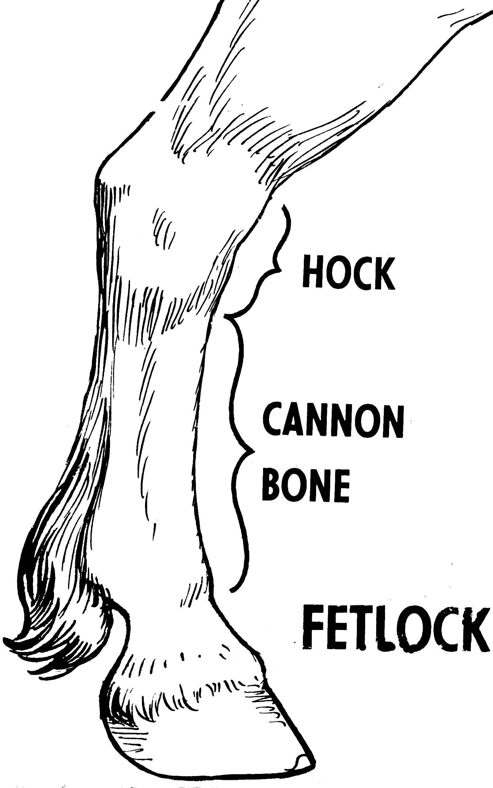 Modern Horse Hoof Anatomy Illustration - Anatomy Ideas - yunoki.info