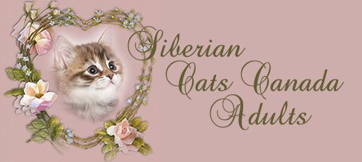 Abyssinian cat breeders ontario canada