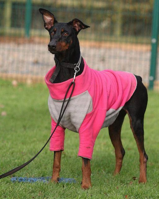 Things We Adore About The Loyal Dobermans Puppy Doberman