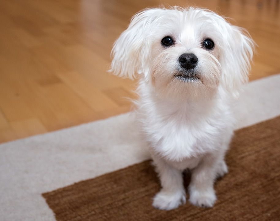 20 Cutest And Best Small Dog Breeds Perfect For Your Aparments