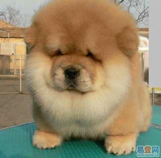 Fuzzy Chow Chow Dogs Fluffy Animals Cute Dogs