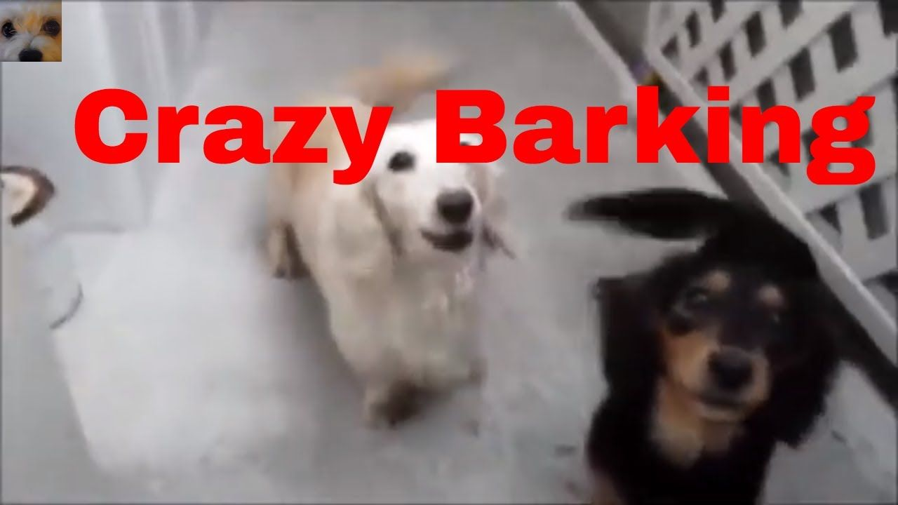 Top 10 Crazy Barking Mad Dogs Crazy Dogs Barking At Nothing