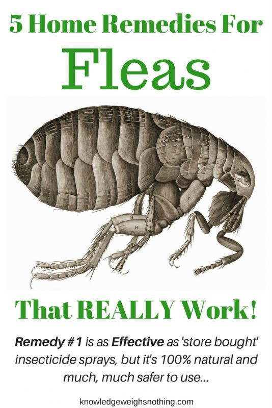 Flea Home Remedies A Flea Trap That Really Work Updated