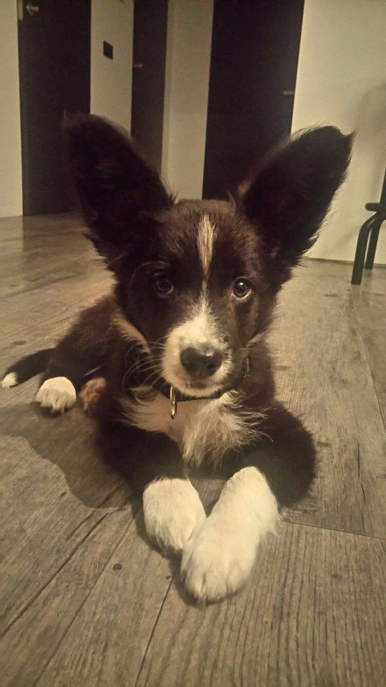 Gini Border Collie Puppy With Big Ears Border Collie Puppies Collie Puppies Border Collie